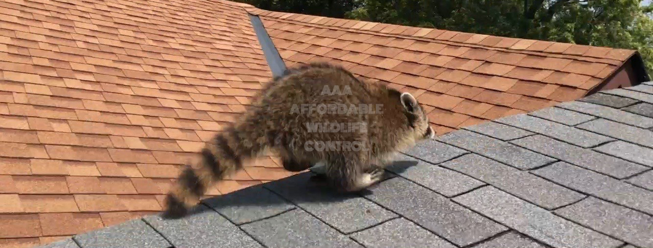 Raccoon Removal Tips Affordable Amp Humane Wildlife